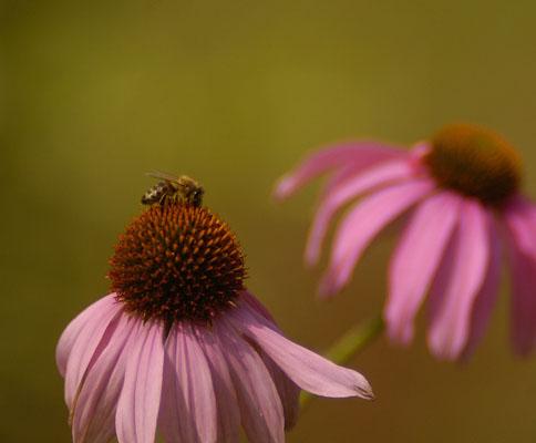 nature garden travel heilpflanze und robuste beetstaude der sonnenhut. Black Bedroom Furniture Sets. Home Design Ideas